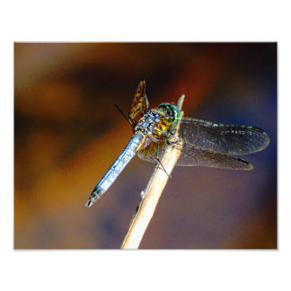 Dragonfly on a Stick Photo Print