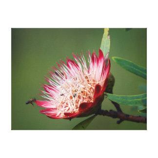 Drakensberg Sugarbush (Protea Dracomontana) Canvas Print