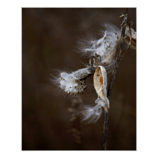 Dramatic Burst Milk Weed Seeds Botanical Photo Poster