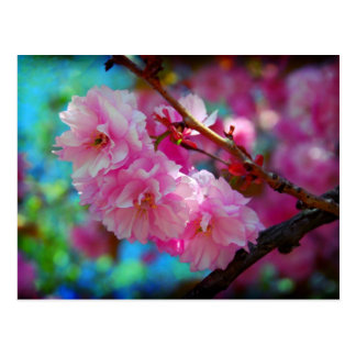 Dreamland, Cherry blossom in Korea Postcard