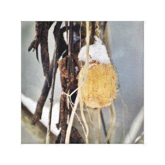 Dried Wild Cucumber Vine Seed Pod in Winter Canvas Print