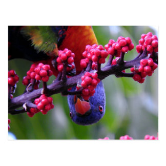 Dropping in for a snack - Rainbow Lorikeet Postcard