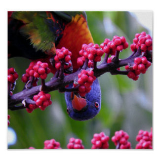 Dropping in for a snack - Rainbow Lorikeet Poster
