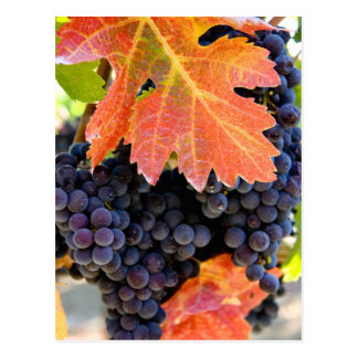 Dry Creek Grape Vine Postcard