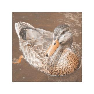 Duck New Zealand Canvas Print