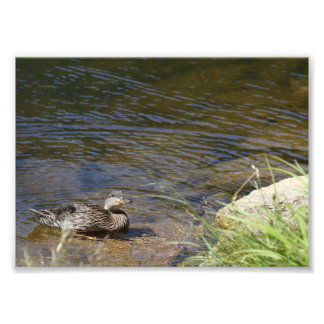 Duck Photo Print