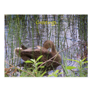 Duck swimming on a pond postcard