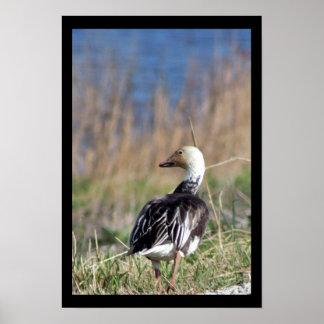 Duck Walking Away Poster