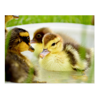 Ducklings Postcard