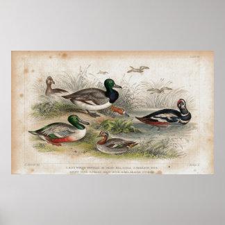 Ducks Antique Lithograph print
