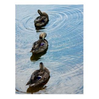 Ducks in a Row Postcard