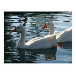 Ducks Post Cards
