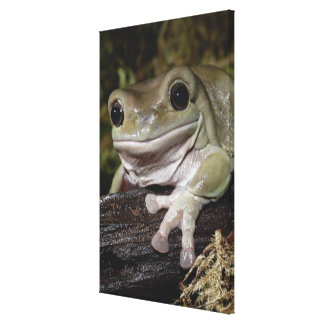 Dumpy Tree Frog. Smiling Frog. Litoria caerulea. Canvas Print
