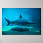 Dusky Shark (Carcharhinus Obscurus), Ushaka