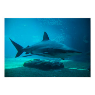 Dusky Shark (Carcharhinus Obscurus), Ushaka Poster