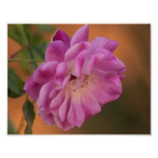 Dusty Pink Rose Photographic Print