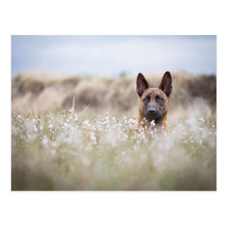 Dutch shepherd into the moorland postcard