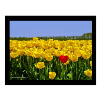 Dutch Tulip Field Postcard
