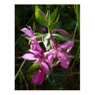 Dwarf Fireweed Blossoms, Unalaska Island Postcard