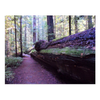 Dyerville Giant- Humboldt Redwoods State Park Postcard