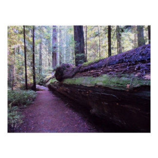 Dyerville Giant- Humboldt Redwoods State Park Posters