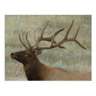 E0009 Bull Elk in Velvet Postcard