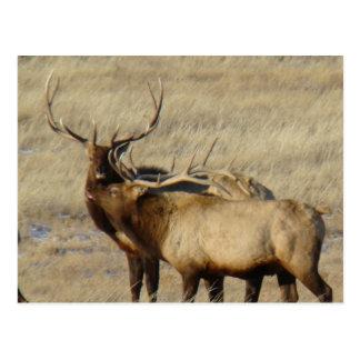 E0024 Bull Elk Postcard