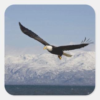 Eagle chauve en vol, leucocephalus de Haliaeetus, Sticker Carré