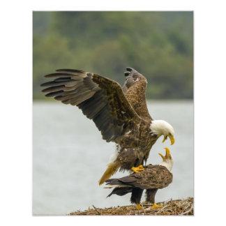 Eagle Encounter 11x14 Print