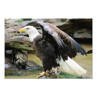 Eagle Spreading Wings Photo Print