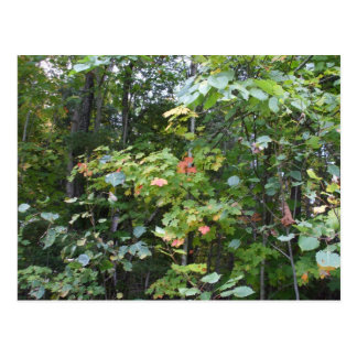 Early Autumn Maple  Leaves Postcard