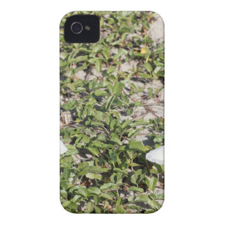 Early Beach Sand Morning Glories iPhone 4 Case