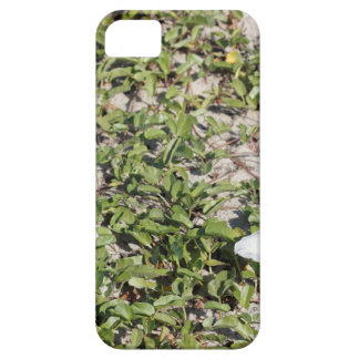 Early Beach Sand Morning Glories iPhone 5 Case