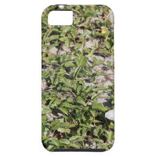 Early Beach Sand Morning Glories iPhone 5 Cases