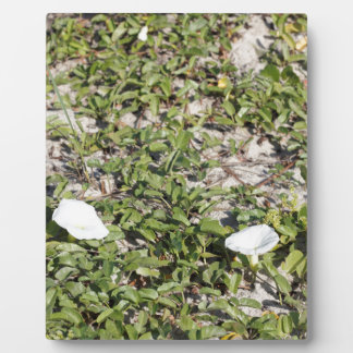 Early Beach Sand Morning Glories Plaque