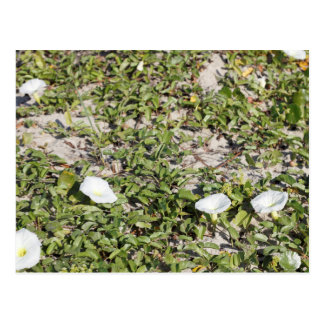 Early Beach Sand Morning Glories Postcard