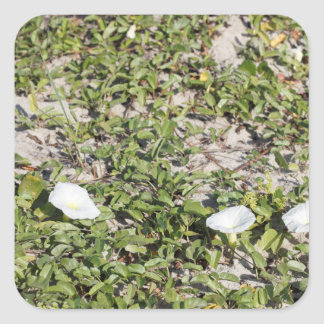 Early Beach Sand Morning Glories Square Sticker