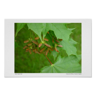 Early Maple Seeds #4352 Poster