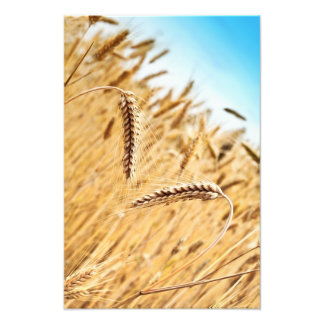 Ears Of Golden Wheat Against Wheat Field Photo Print