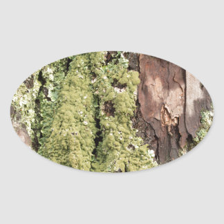 East Coast Pine Tree Bark Wet From Rain with Moss Oval Sticker