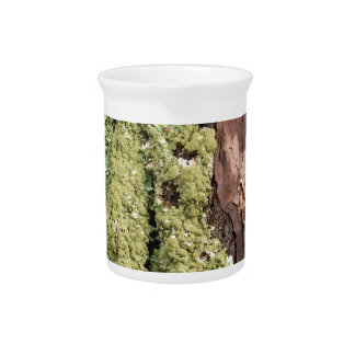 East Coast Pine Tree Bark Wet From Rain with Moss Pitcher