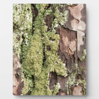 East Coast Pine Tree Bark Wet From Rain with Moss Plaque