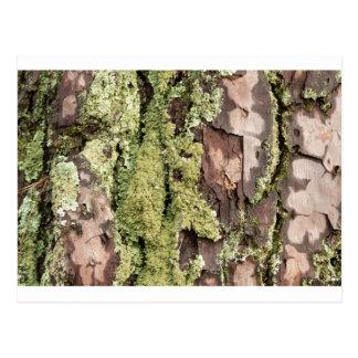 East Coast Pine Tree Bark Wet From Rain with Moss Postcard