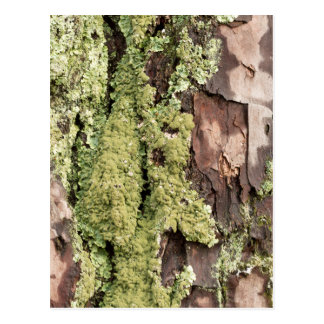 East Coast Pine Tree Bark Wet From Rain with Moss Postcard