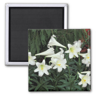 Easter Lily (Lilium regale) Magnets