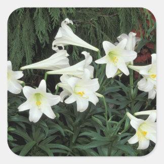 Easter Lily (Lilium regale) Square Sticker