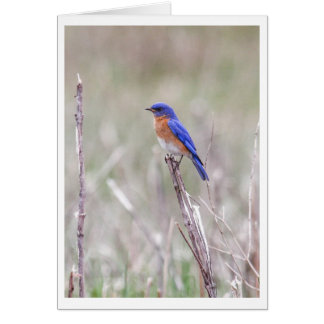Eastern Bluebird Card