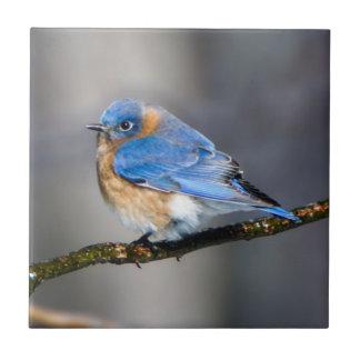 Eastern Bluebird Ceramic Photo Tile