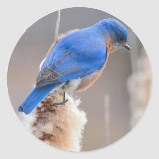 Eastern Bluebird Classic Round Sticker