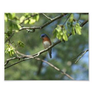 Eastern Bluebird, Photo Enlargement.